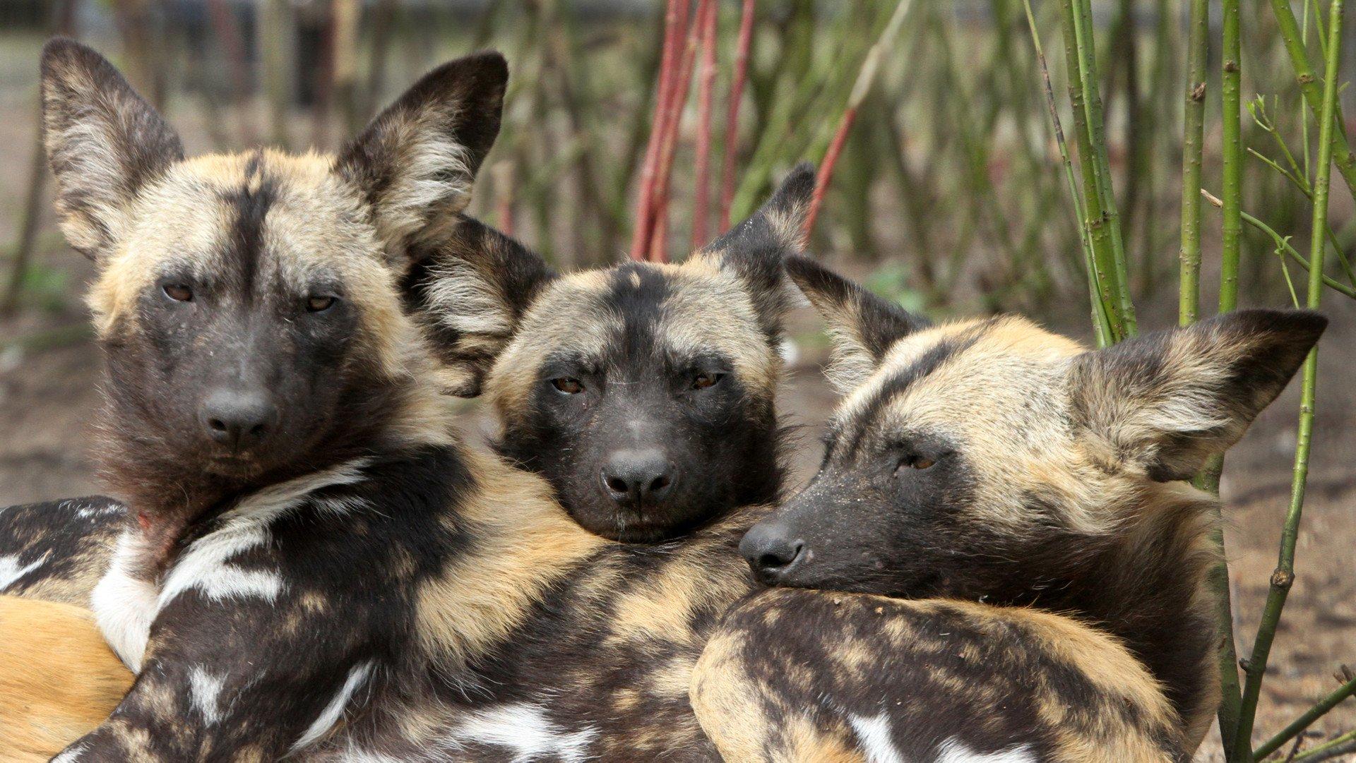 Afrikaanse wilde honden groepsdieren r 1920x1080 jpg