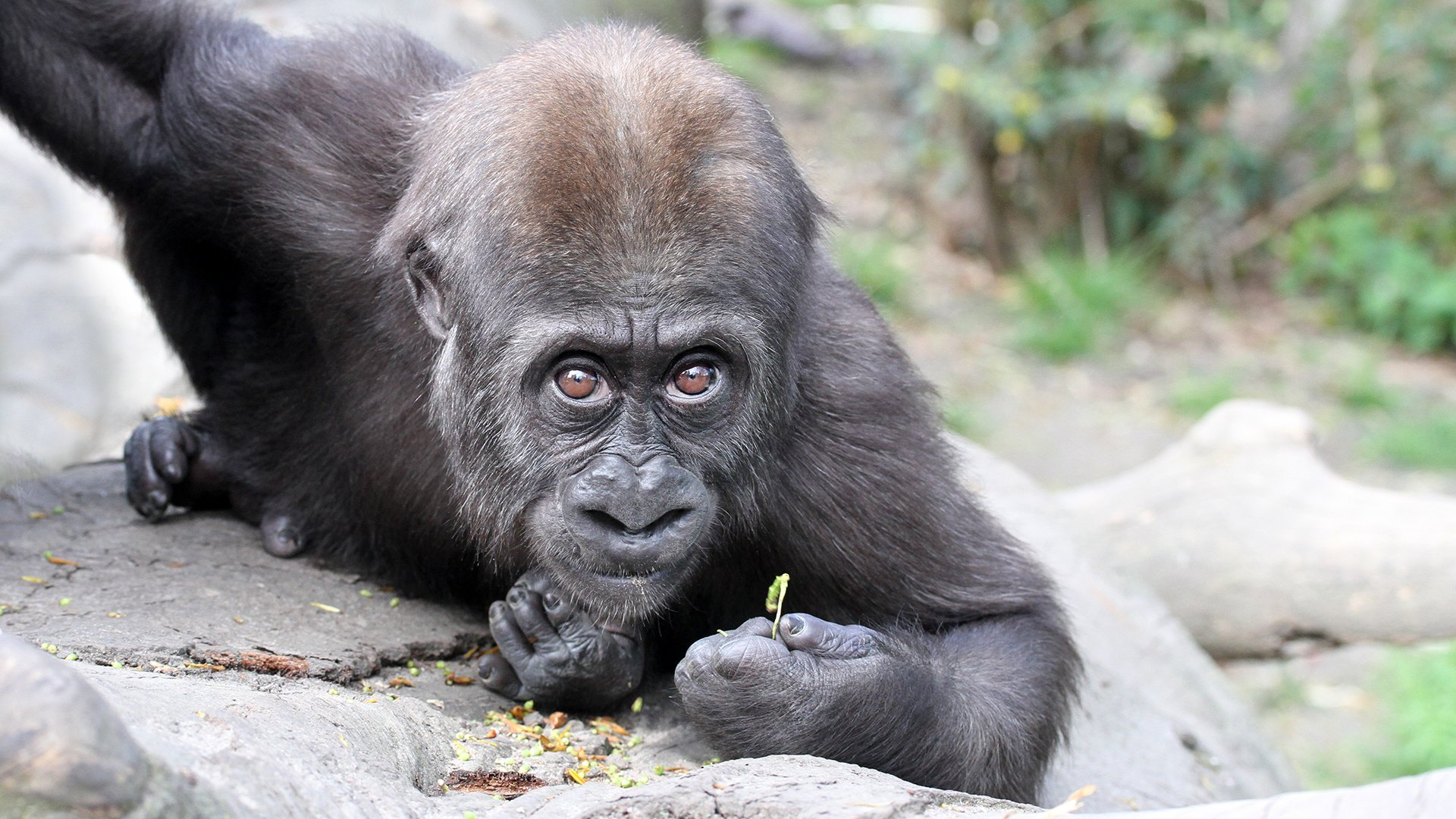 Yanga_april_2018_gorillababy_babygorilla.jpg