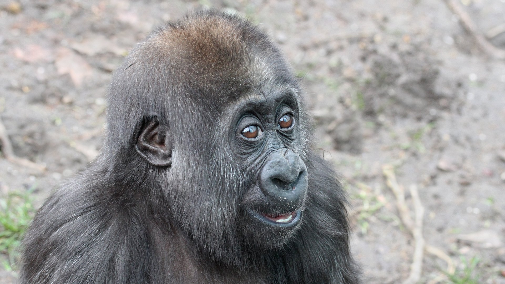Yanga jan 2018_gorillababy_1920x1080.jpg