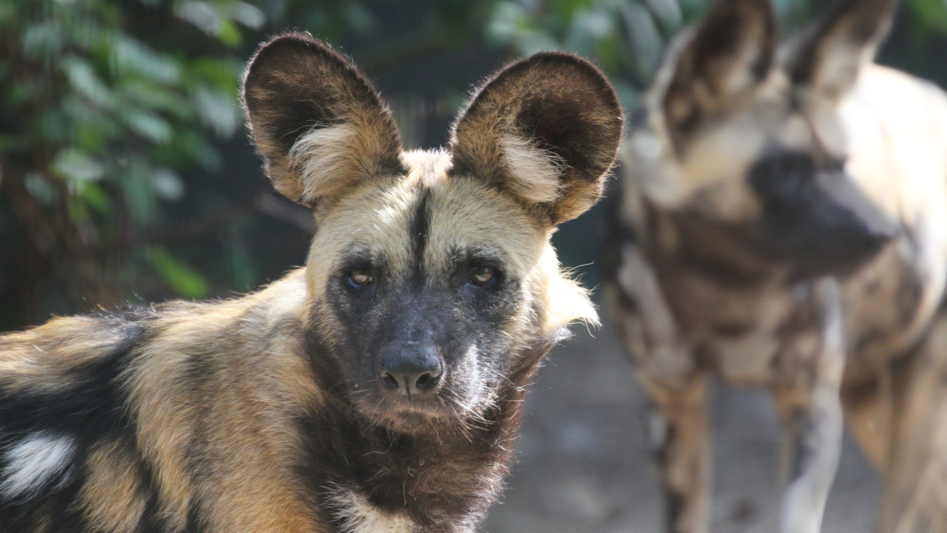 Nature conservation project african hunting dog