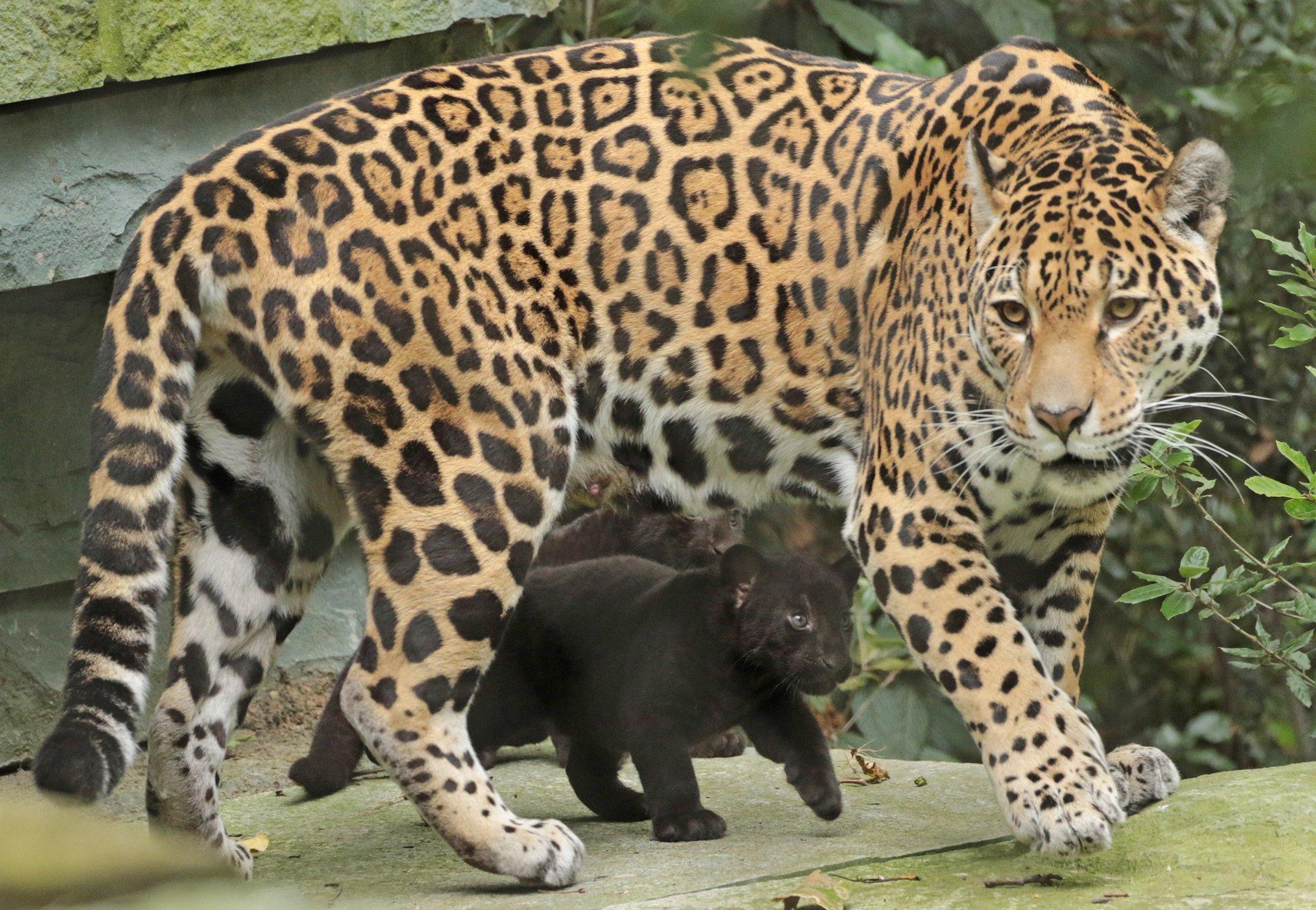 What Do Jaguars Eat >> News