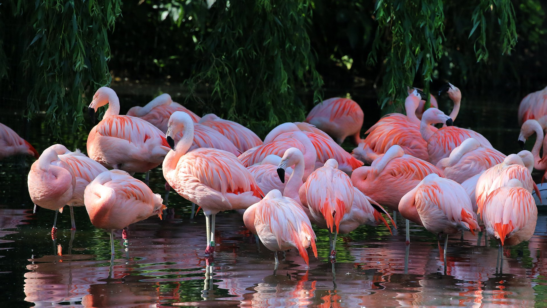 Chileense flamingos_2018_1920x1080.jpg